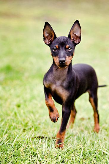 cane giocattolo terrier
