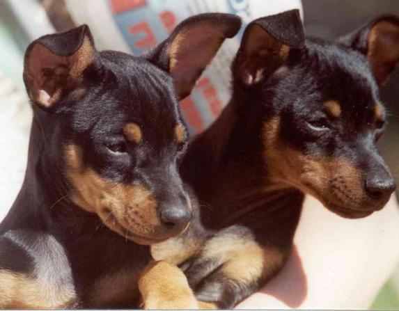 razze di cani di piccola taglia
