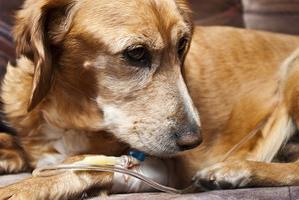 enteritis kod liječenih pasa
