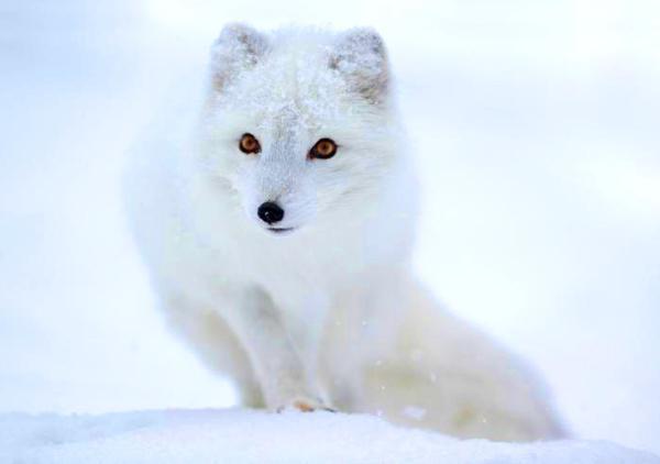 quali animali sono nella tundra