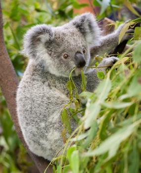 ulje za kosu eukaliptusa