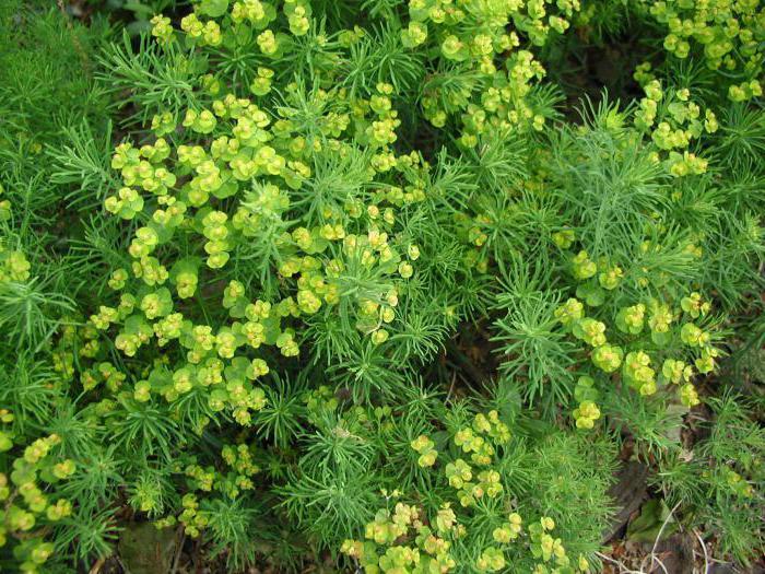 Euphorbia кипарис
