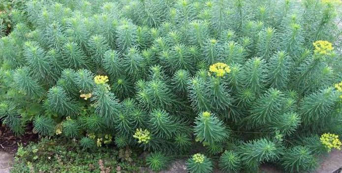 Развъждане на кипарис от Euphorbia