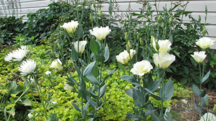 čuvanje cvijeća eustoma