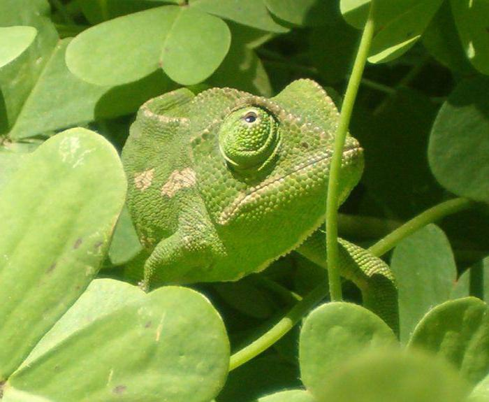 Пример за мимикричен зелен цвят