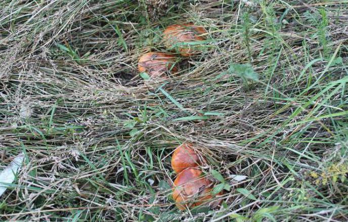 Funghi porcini falsi