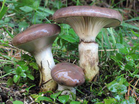 Лажна печурка