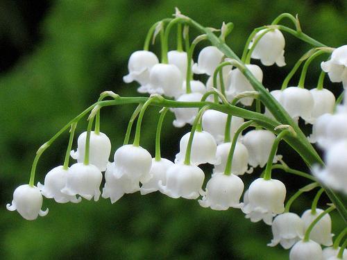 obiteljski cvijet ljiljana