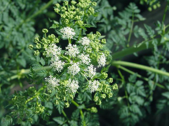 семейство растения чадър