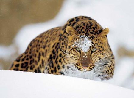 Далеки источни леопард