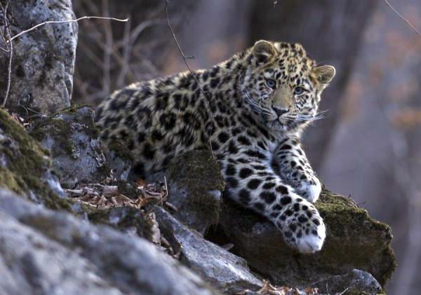 живот далеког источног леопарда
