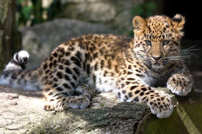 Црвена књига Русија Далеко источни леопард