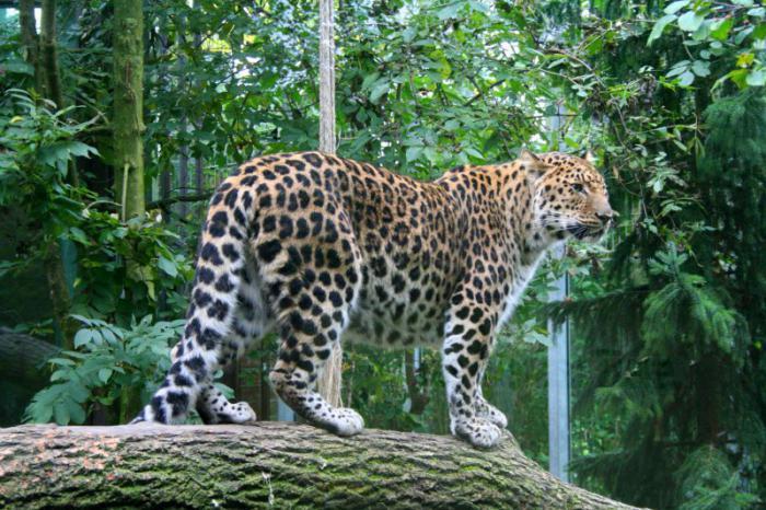 Опис леопарда на далеком истоку