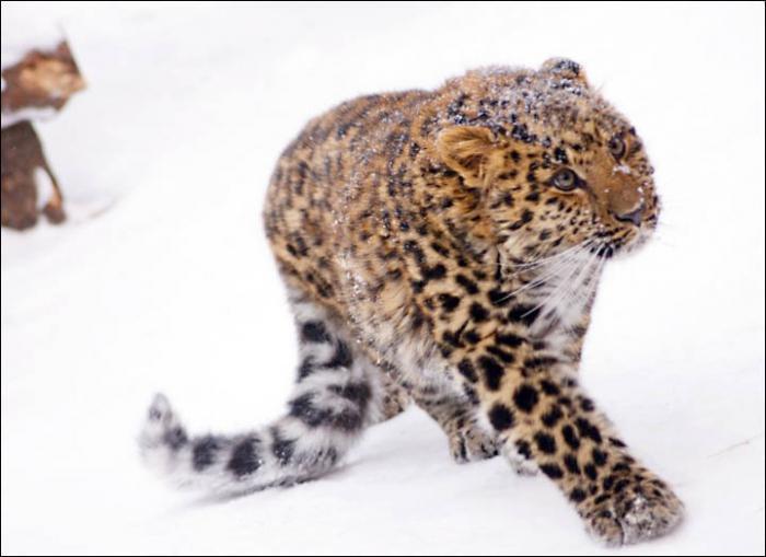 црвена књига леопарда