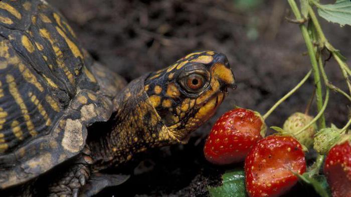cibo per la tartaruga dalle orecchie rosse
