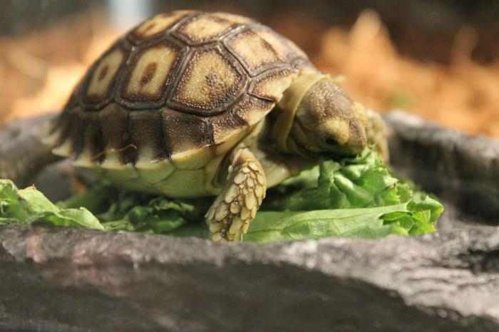 cibo secco per tartarughe
