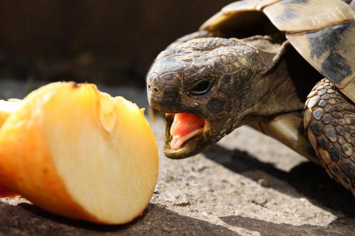tartarughe da compagnia