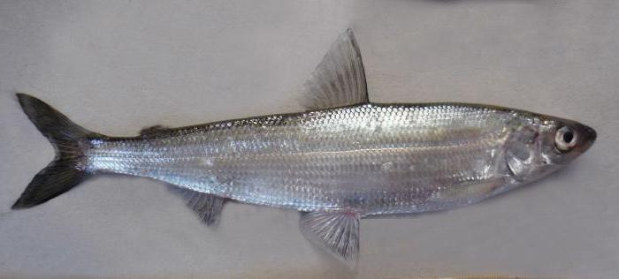 Ryba ripus