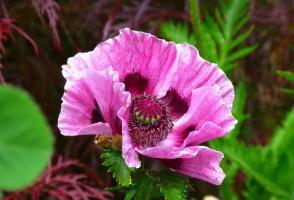 Mak, cvijet, opis