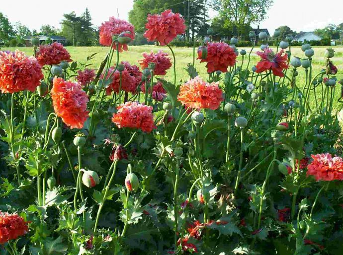 Vrtni cvjetni makovi