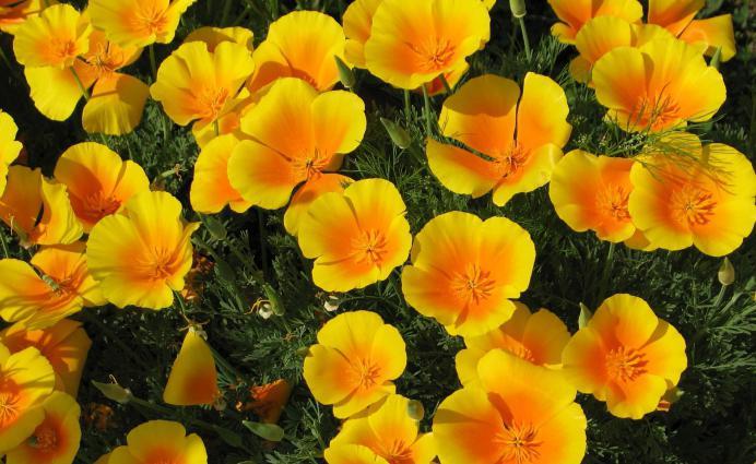Poppy, vrijednost cvijeta