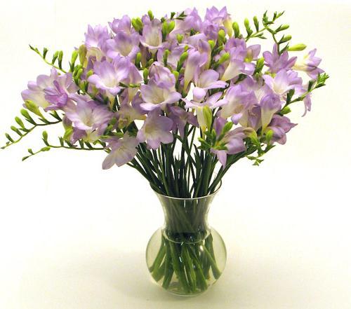 fiori di fresia