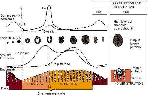 фоликуларна фаза циклуса