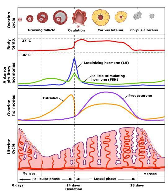 стопа хормона фоликуларне фазе
