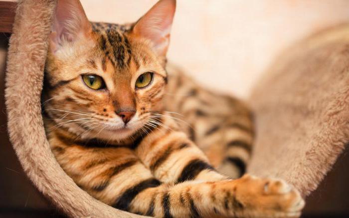 ljubimac mačka festivalima ocjena
