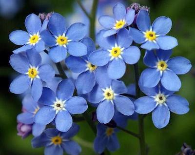 niezapominajkowe kwiaty