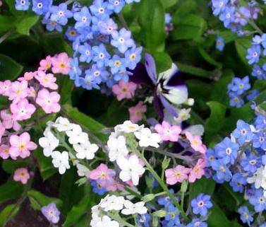 niezapominajki kolor kwiatów