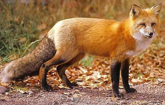 aspettativa di vita di volpe e lupo