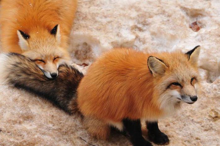 l'aspettativa di vita della volpe è anni