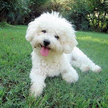 francoski lapdog