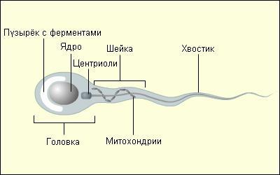 La struttura dell'uovo e dello sperma