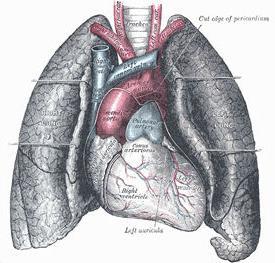 strukturi ljudskog cirkulacijskog sustava