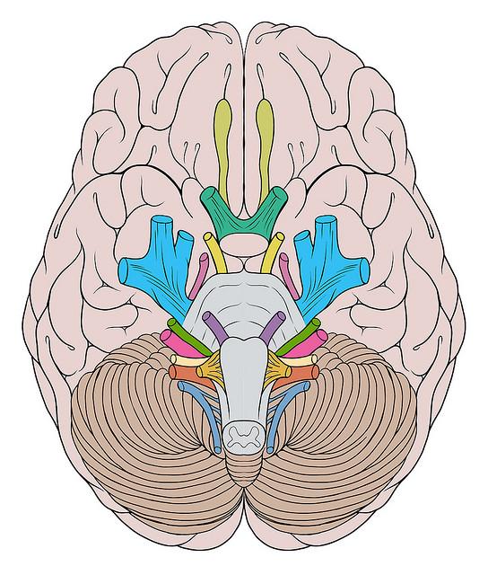 brázdy a gyrus mozku