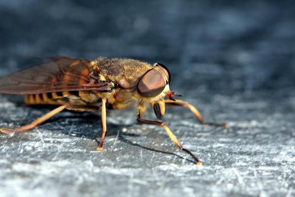 гадфли инсект људски угриз