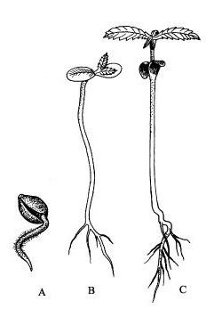 генеративни орган