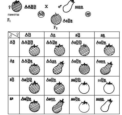 Incrocio ibrido di pomodoro
