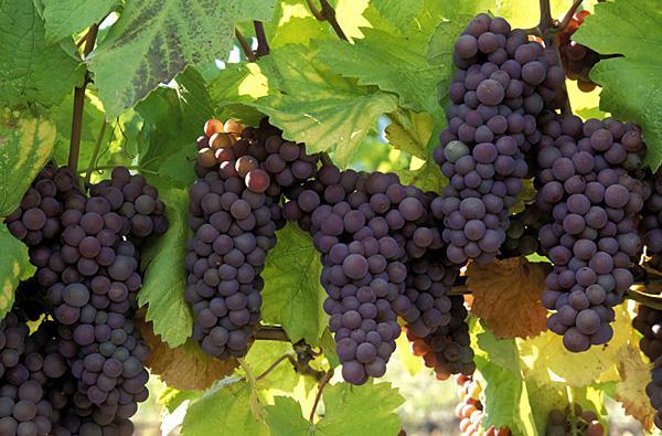 Gruzínské víno Kindzmarauli