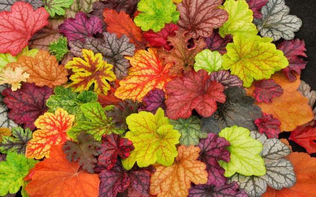 Geykhera sadnju i njegu u jesen