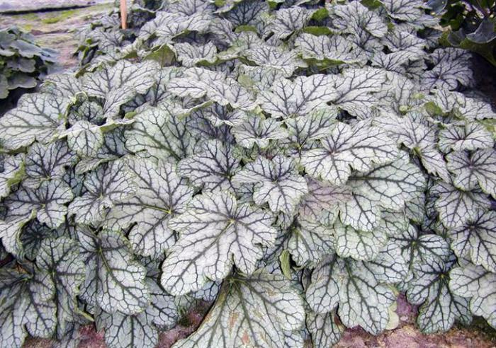 Sadnja i njega biljke Geyhera