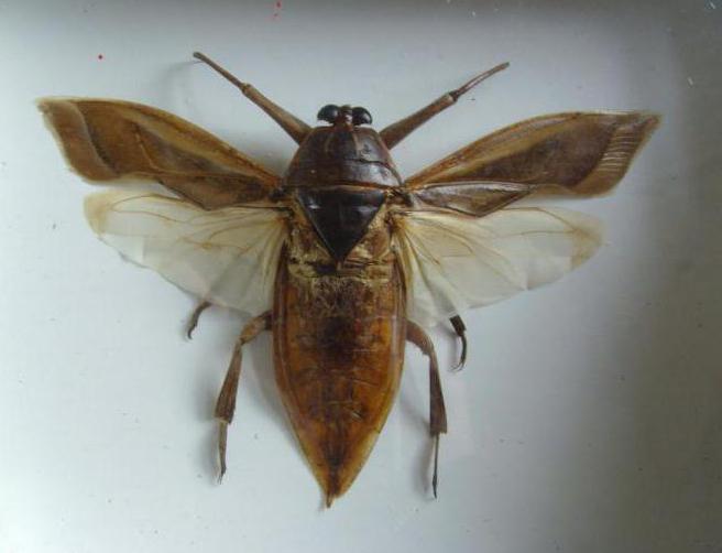 insetto gigante