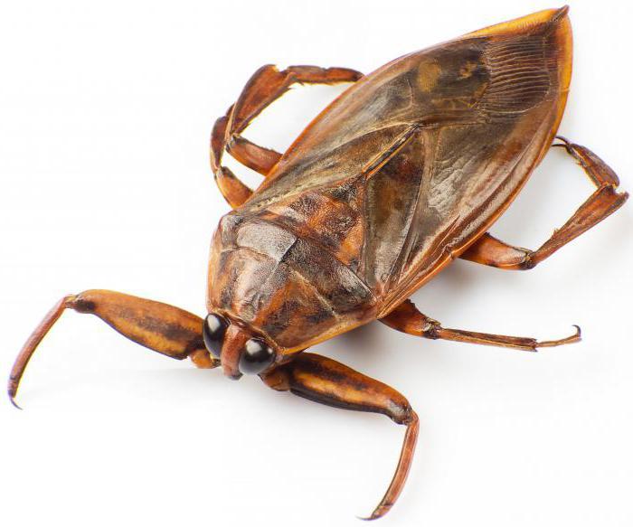 Un insetto d'acqua è pericoloso per l'uomo?