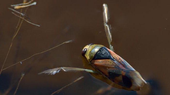 descrizione di bug d'acqua gigante