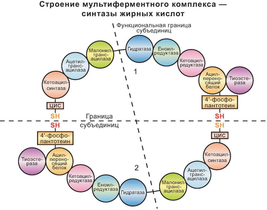 La struttura del complesso multienzimatico