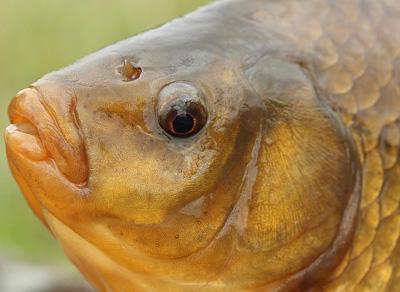 Златна риба