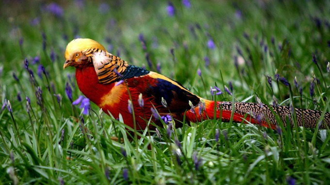Il piumaggio colorato del maschio