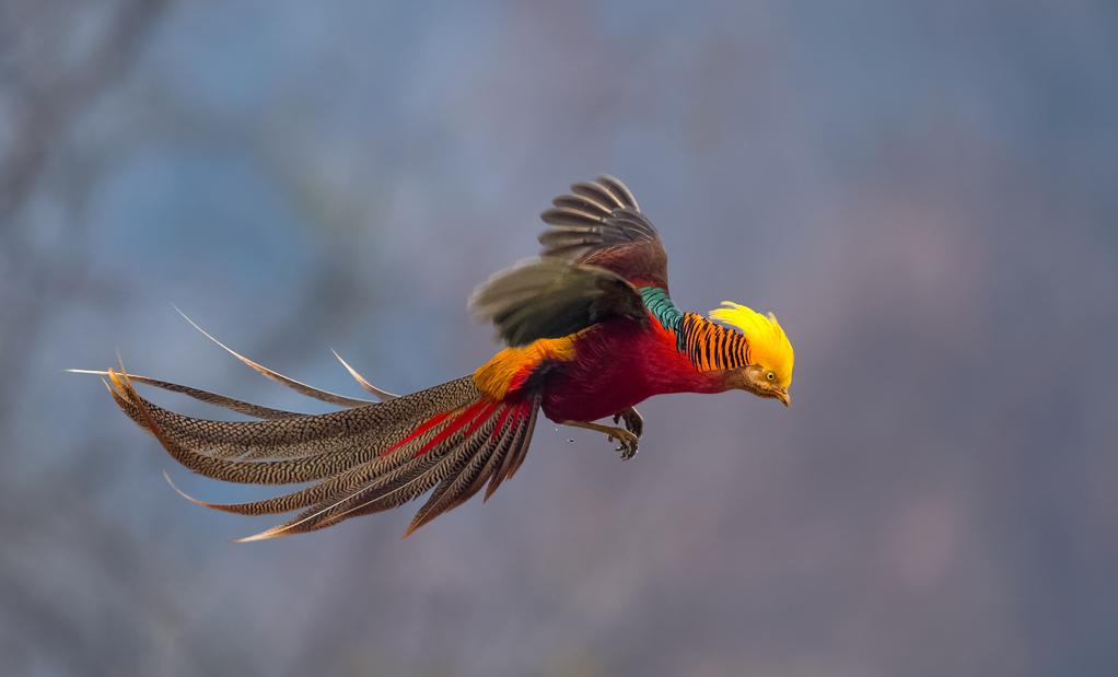 фазан у лету